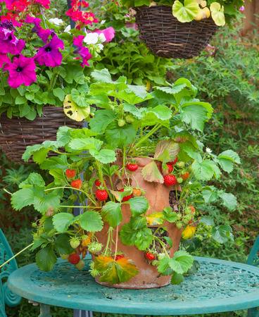 fresa: Planta de fresa en una olla de barro sobre una mesa de jardín.
