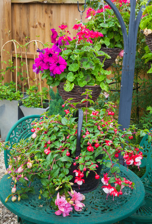 fuschia: Pink fuschia planted in a container resting on a garden table with hanging basket background Stock Photo