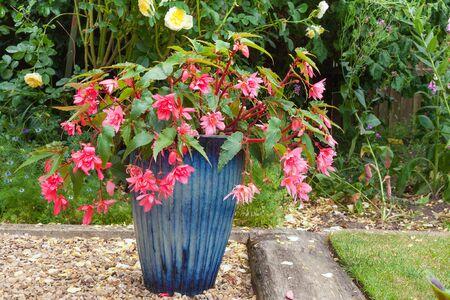 flores fucsia: Hermosa olla azul con flores de color rosa fucsia dobles.