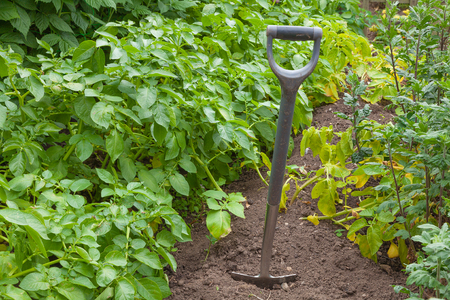 plot: Garden spade in a potato plot ready for digging