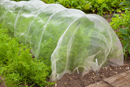 Carrot plants being grown under a cloche netting. Stock Photo