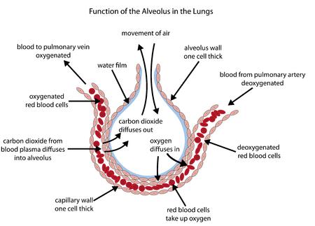 気体交換を示す肺の肺胞の完全にラベルの図。