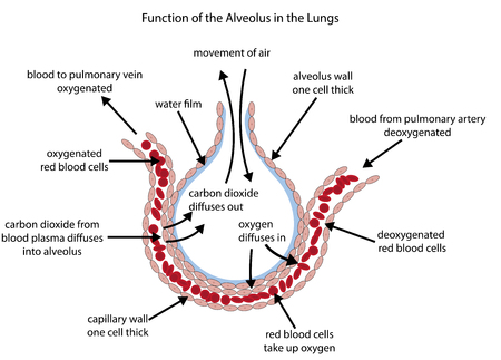 Fully labelled diagram of the alveolus in the lungs showing gaseous exchange. Ilustração
