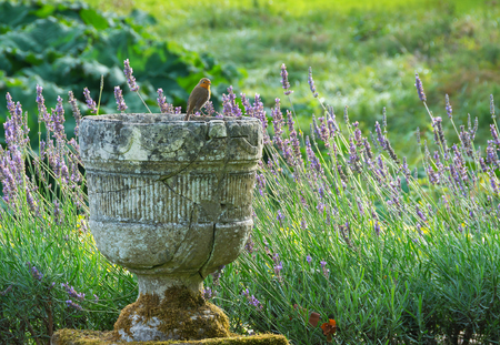 Stone urn with Robin perched on the edge with lavender in the background English garden Stock Photo