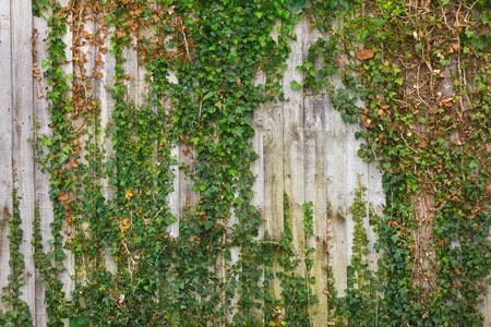 trailing: Old wooden fence covered with trailing ivy.