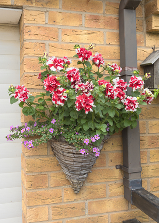 Cone shaped wicker hanging basket with beautiful pink petunia plants.
