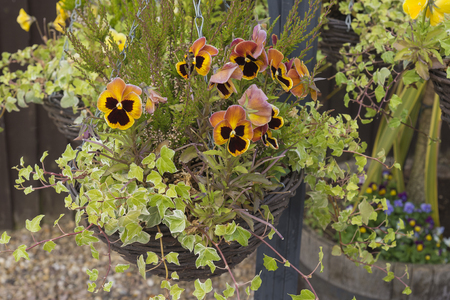 Multi-hanging basket with winter flowering pansies and ivy.