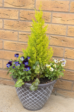 Small container of blue and yellow pansies with a small evergreen tree.