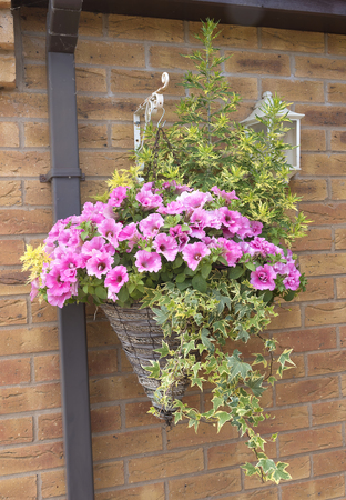 Cone shaped wicker hanging basket with beautiful pink petunia plants. Banco de Imagens - 81212932