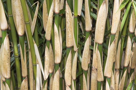 Close-up of mature bamboo stems showing a range of greens and yellow colors for background.