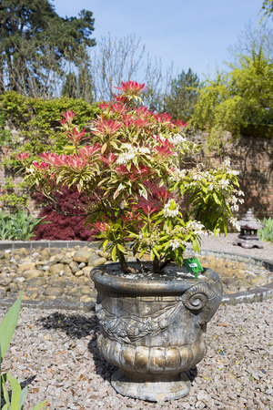 Pieris shrub grown in a container on gravel with colorful red leaves.  Banco de Imagens