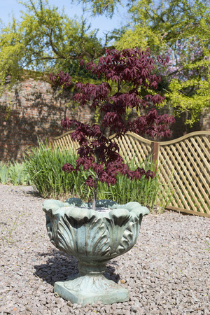 Acer palmatum or Japanese maple shrub growing in a container in an oramental garden with gravel surround.