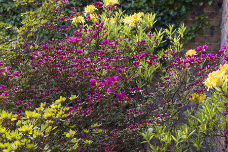 Azalea bushes planted in a corner of a garden in the shelter of a wall. Banco de Imagens - 101621273