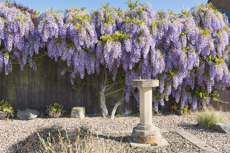 Wisteria shrub in full flower in springtime covering and hiding a garden fence. Banco de Imagens - 102009320