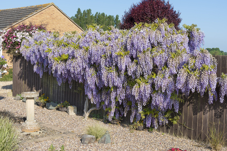 Wisteria shrub in full flower in springtime covering and hiding a garden fence.