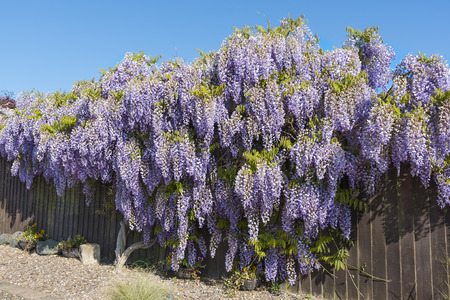 Wisteria shrub in full flower in springtime covering and hiding a garden fence. Banco de Imagens - 102030911