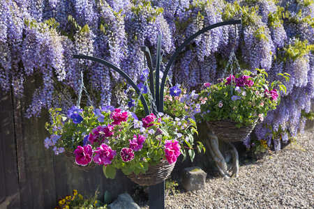 Spring hanging baskets with a backdrop of wisteria in full bloom Stock Photo