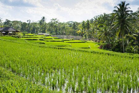 Rice paddy terraces with view of the sky and palm trees.