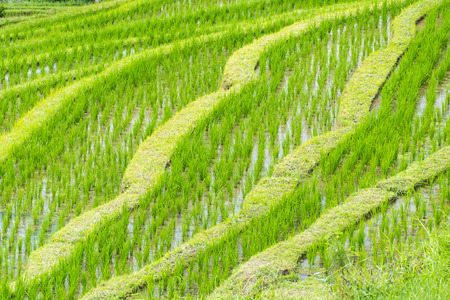 Typical rice paddy field in south east Asia showing the individual rice plants Banco de Imagens - 109243774
