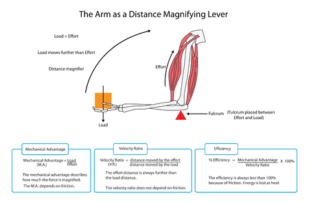 Diagram of the arm as simple lever with descriptions and formulae. EPS10
