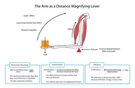 Schema des Arms als einfacher Hebel mit Beschreibungen und Formeln. EPS10
