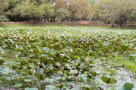 Lake or pond full of pink lotus flowers in full bloom.