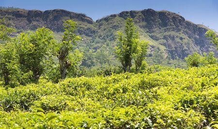 Sri Lanka, view of Nuwara Eliya with tea bushes in foreground.