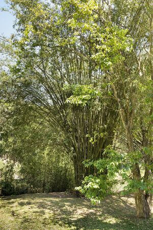 Tall bamboo shrub tree with sunshine on the branches against a blue sky.