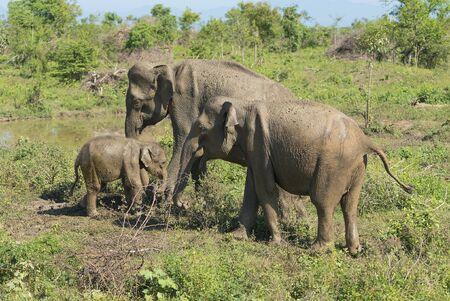 Udawalawe, Sri Lanka: National Park Asian Elephants many rehabilitated from sanctuary. Stock fotó