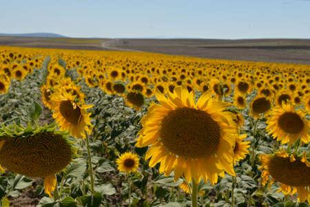 moonflower: sunflower seeds