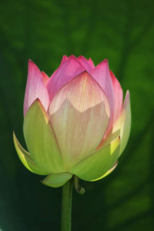 close up: Lotus Bloom