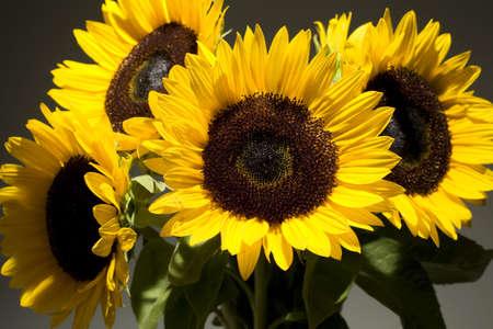 Studio Stilleben von einem Strauß Sonnenblumen vor einem schwarzen Hintergrund Standard-Bild