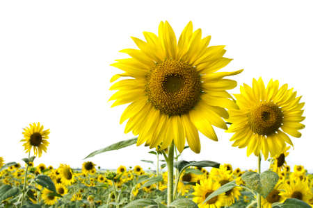 Sunflowers over the field with white sky background Stock Photo - 8458314