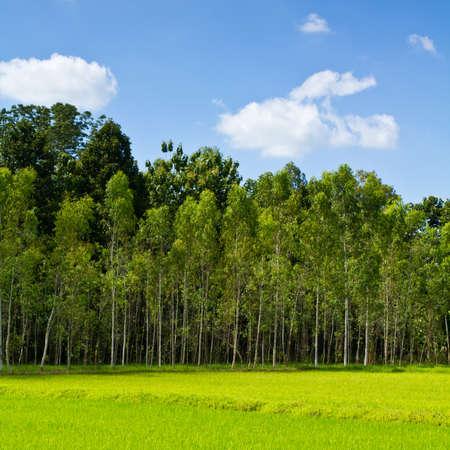 eucalyptus trees: Eucalyptus forest with paddy  Stock Photo