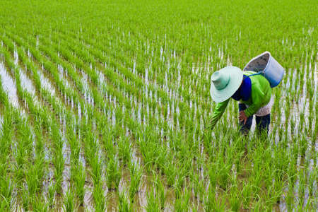rice crop: Farmer work in rice field