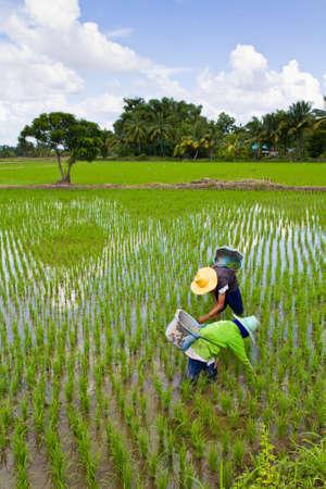 paddy field: Farmers weeding in their paddy