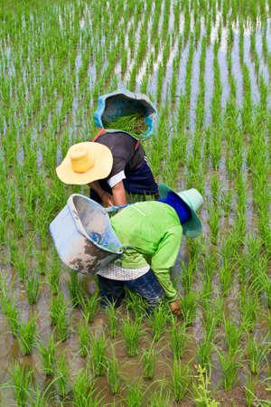 Farmers weeding in their paddy photo