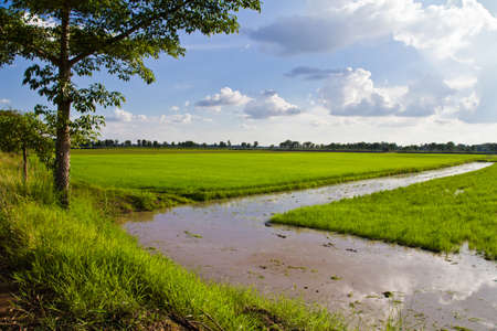 cultivate: Paddy in cultivate season