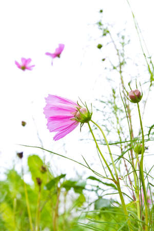 Pink cosmos flower in the field against the bright light photo