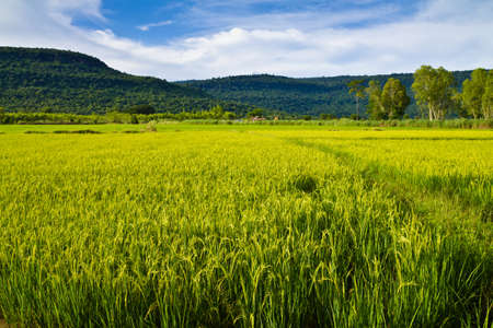 Paddy produce grain in countryside of Thailand photo