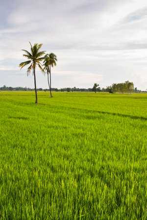 Coconut trees in the rice field photo