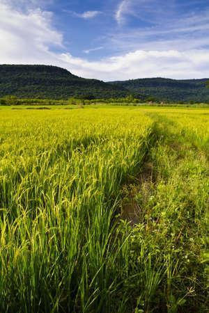Paddy produce grain in rainy season in Thailand photo