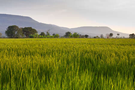 Cultivated paddy and mountain in countryside of Thailand photo