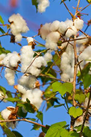 bois �b�ne: Fleur blanche des Blacks Banque d'images