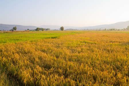 Rice field in morning sunlight photo