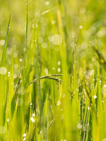 Rice and dew drops  in the field photo