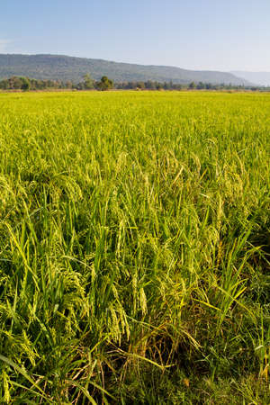 Rice field produce grain for cultivate photo