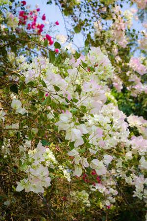 bougainvilleas: Bougainvilleas  blossom in summer, Thailand