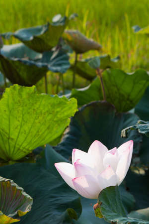 White lotus blooming among the wilted leaves in the pond photo