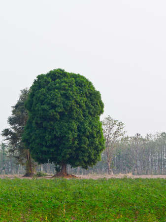 A big mango tree in cassava farm photo